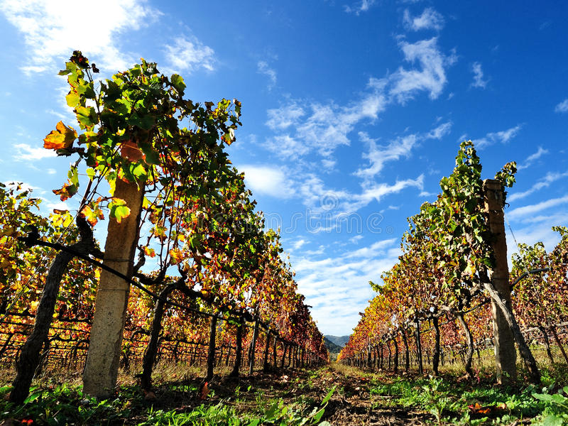 The vine with the colors of autumn. Details of vineyards, rows of vines young and old with the colors of autumn stock images