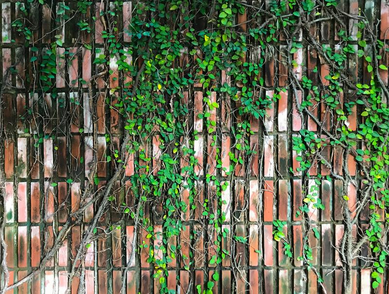 Vine creeper climber plant hanging on brown brick pattern wall. Landscape Architecture Design and Decorative Gardening concept royalty free stock photos