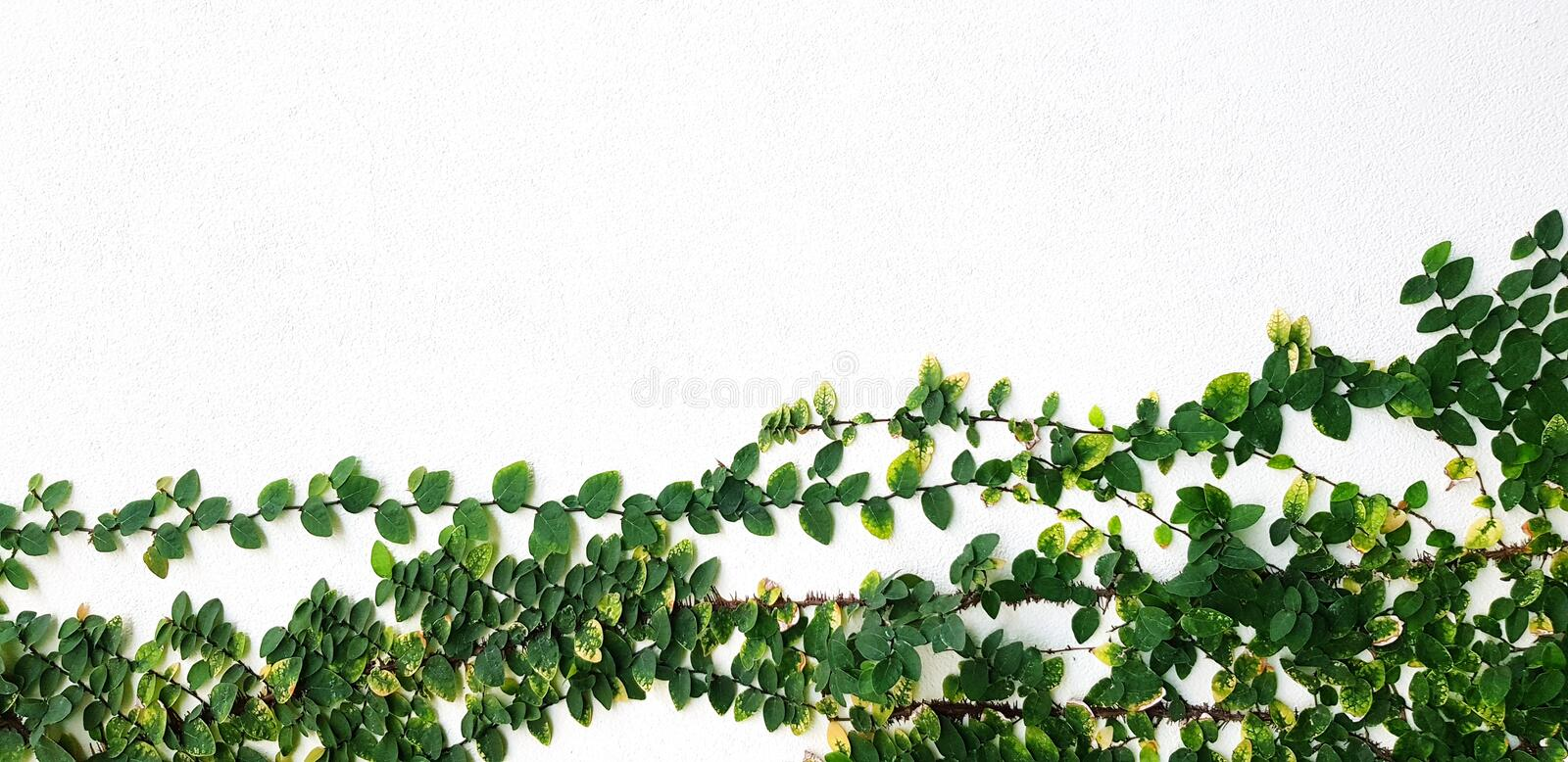 Vine or creeping plant growth isolated on white concrete wall background with above copy space. Nature plant and Background concept royalty free stock photography