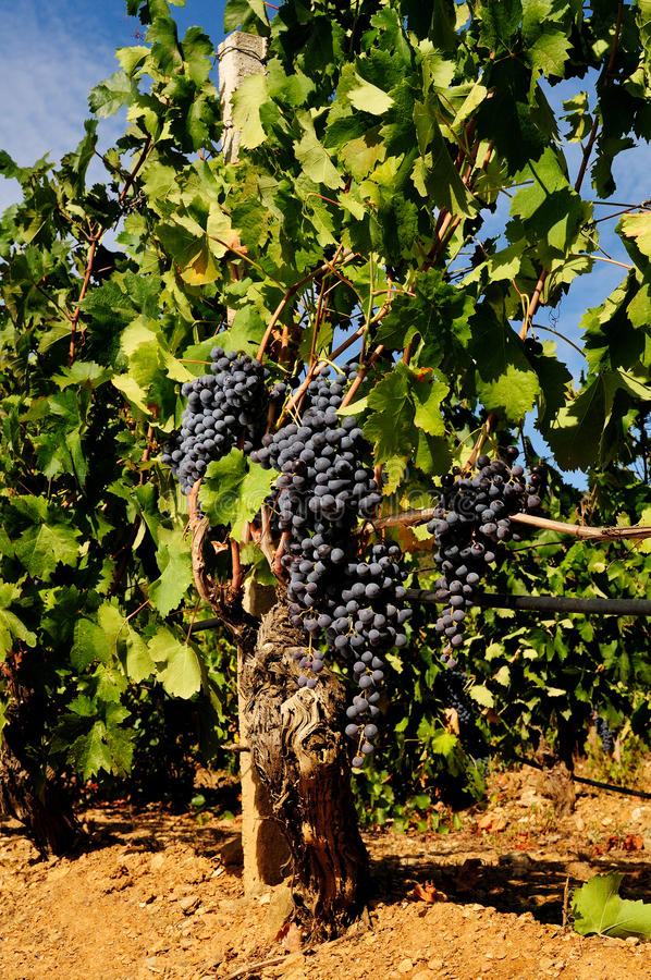 The vine. Details of vineyards, rows of old and young vines during harvest stock images