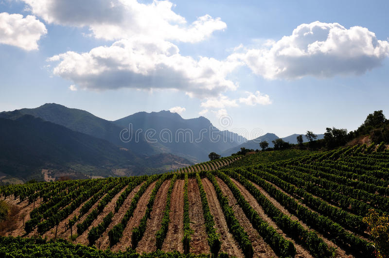 The vine. Details of vineyards, rows of old and young vines during harvest royalty free stock photos