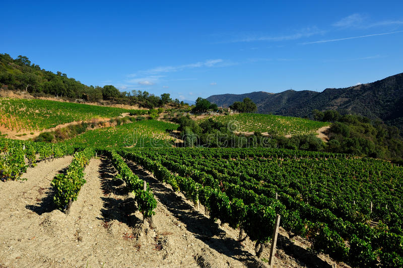 The vine. Details of vineyards, rows of old and young vines during harvest royalty free stock images