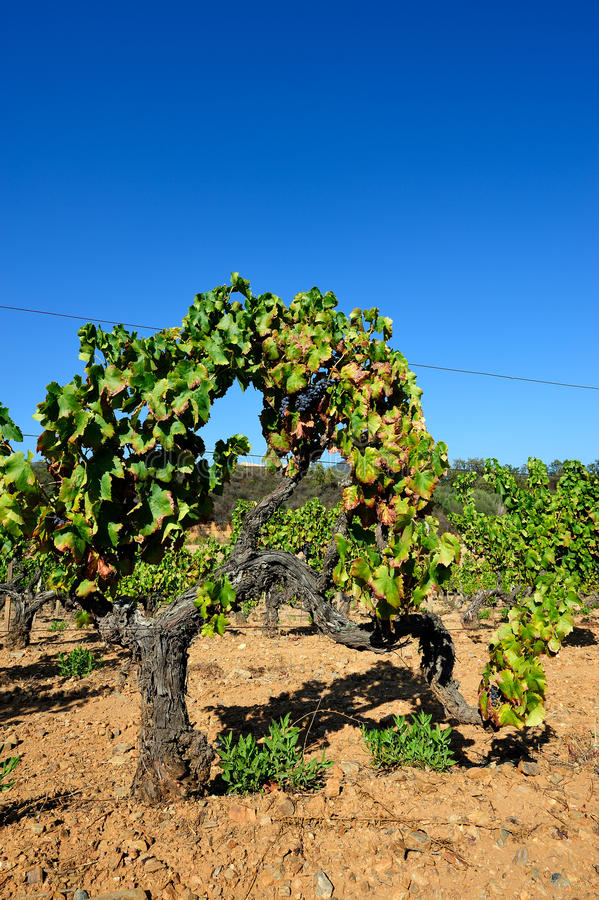 The vine. Details of vineyards, rows of old and young vines during harvest stock image