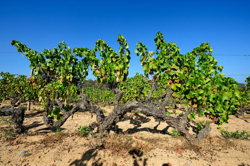 The vine. Details of vineyards, rows of old and young vines during harvest royalty free stock photo
