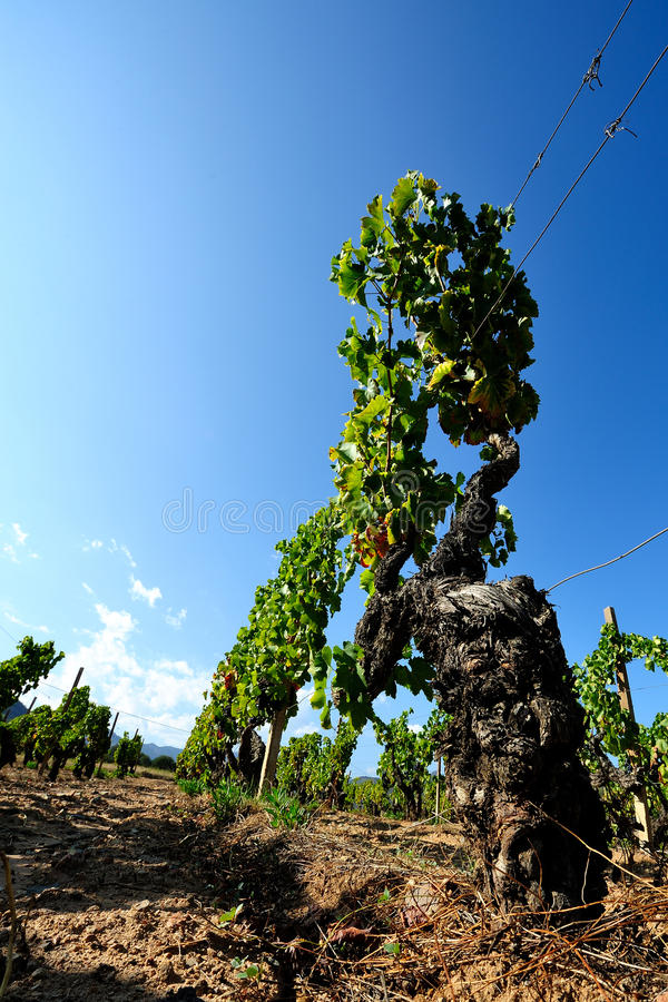 The vine. Details of vineyards, rows of old and young vines during harvest royalty free stock photography