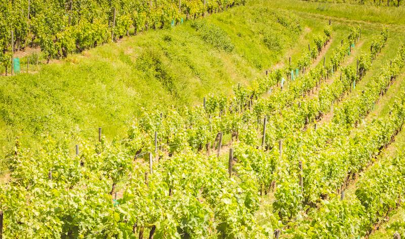 Vine at the end of spring in the region of saint emilion stock photography