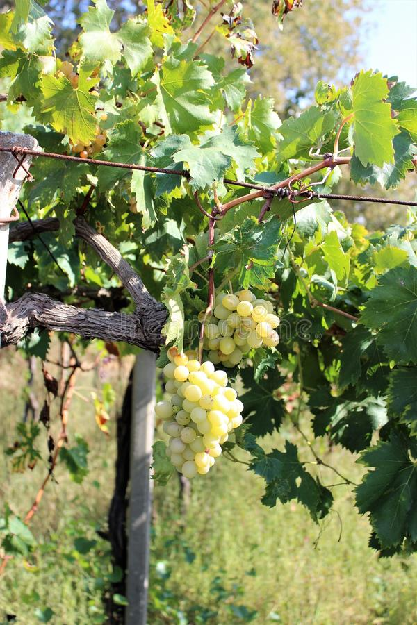 Vine with fruit-berries in natural conditions. Ripening bunches of white grapes on the vine in natural conditions. Summer day in southern Europe stock image