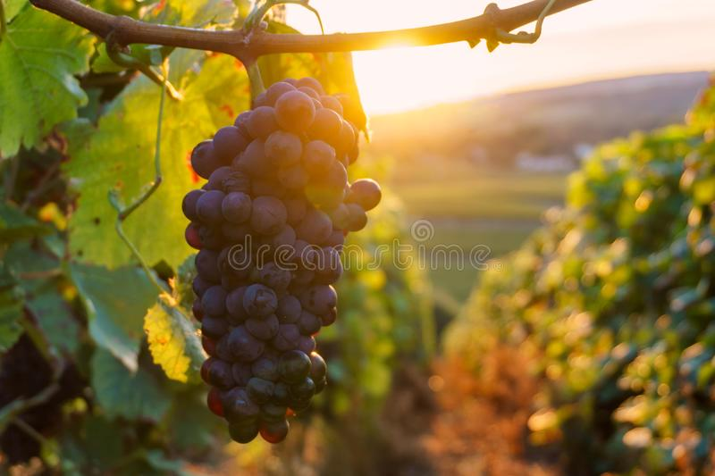 Vine grapes in champagne region in autumn harvest stock photos