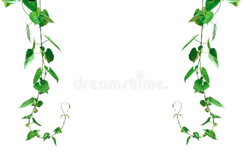 Vine with green leaves, heart shaped, twisted separately on a white background royalty free stock photos