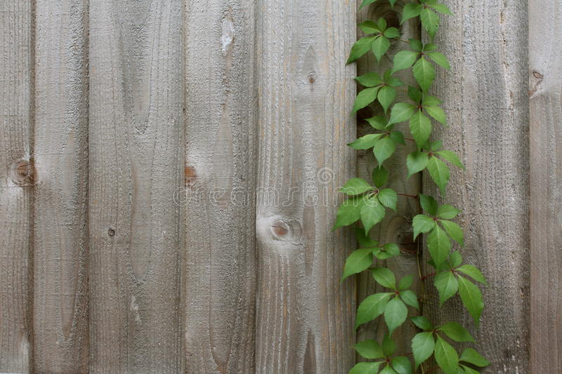 Vine growing in a fence