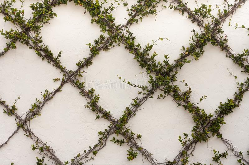 Vine Growing on Textured Wall stock photography