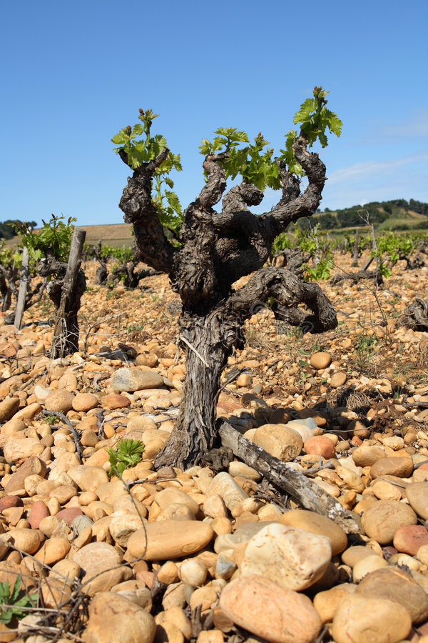 Free Vine In The French Provence Royalty Free Stock Images - 5072479