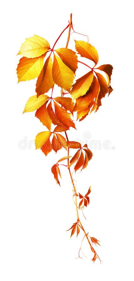 Download Vine isolated on white stock image. Image of design, autumn - 16100885