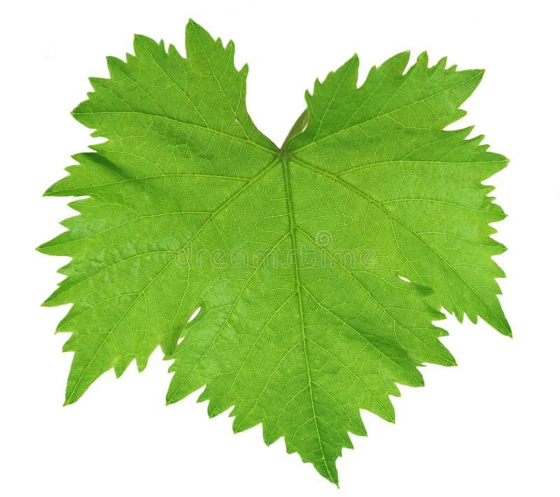 Download Vine leaf stock image. Image of back, environment, landscape - 16917589