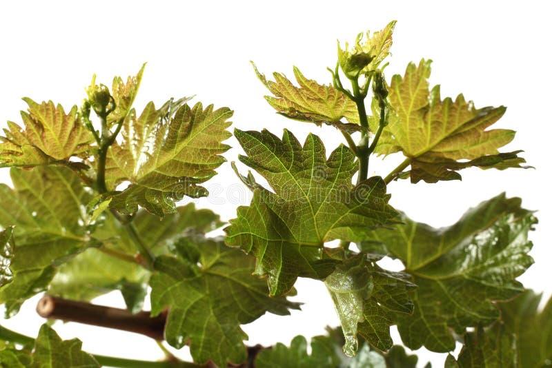 Download Vine leaf stock photo. Image of frame, plant, farm, horticultural - 24563930