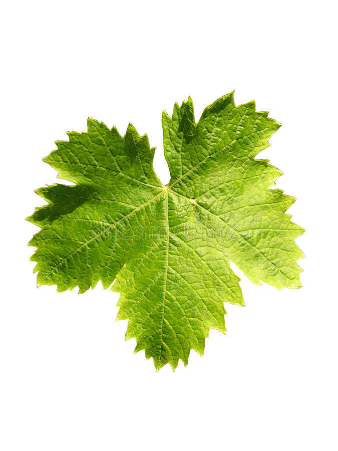 Free Vine Leaf Royalty Free Stock Photo - 60005