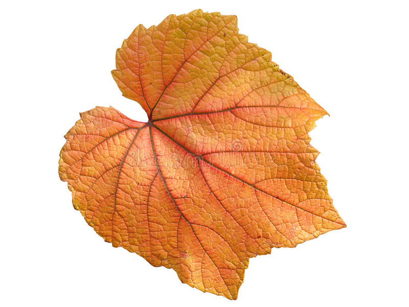 Vine leaf in autumn. Fall colour cut out and isolated on a white background stock images
