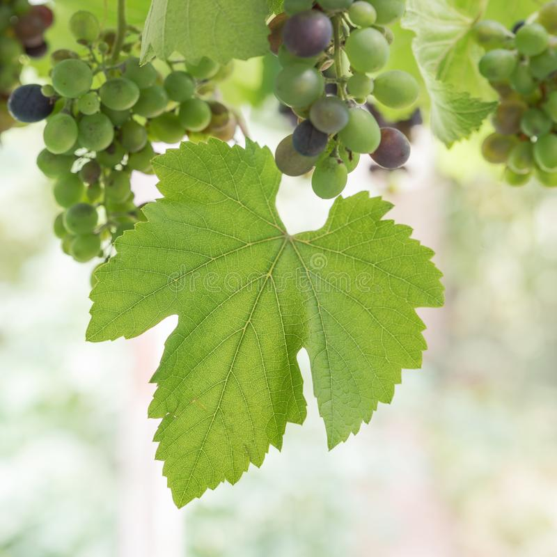 Vine leaf and grapes blue grapes semi ripe. Square format royalty free stock image