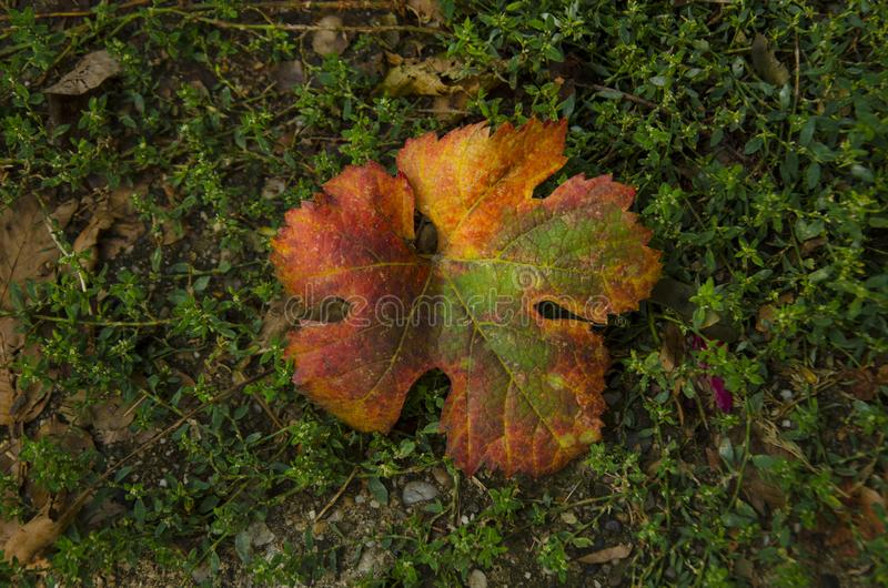 A vine leaf preparing for a winter dream royalty free stock photos