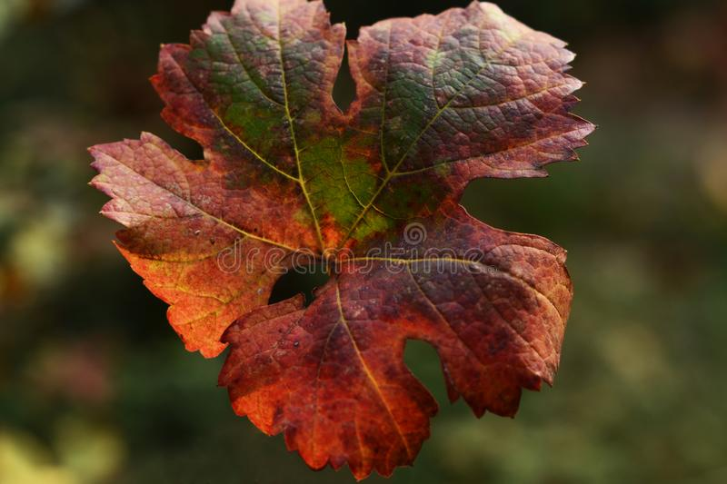 A vine leaf preparing for a winter dream royalty free stock image