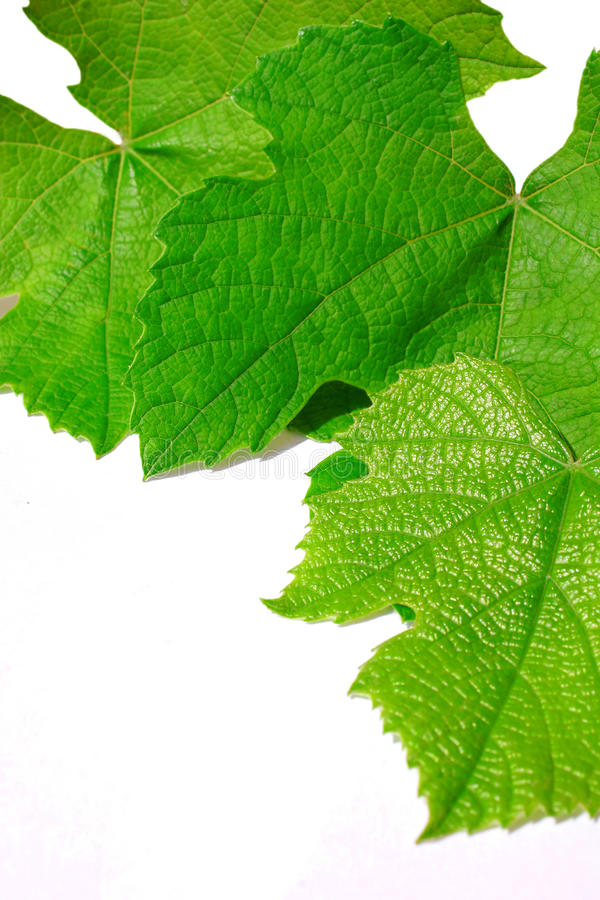 Download Vine Leafs Royalty Free Stock Images - Image: 9755759