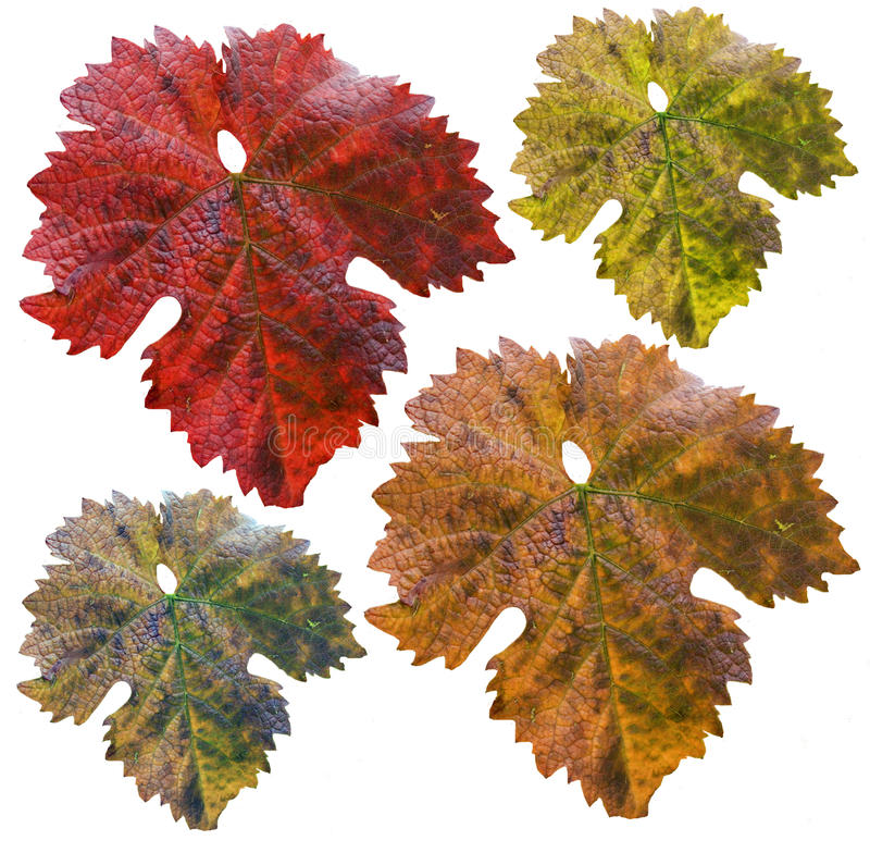 Download Vine Leafs In Different Colors Stock Image - Image: 11047899