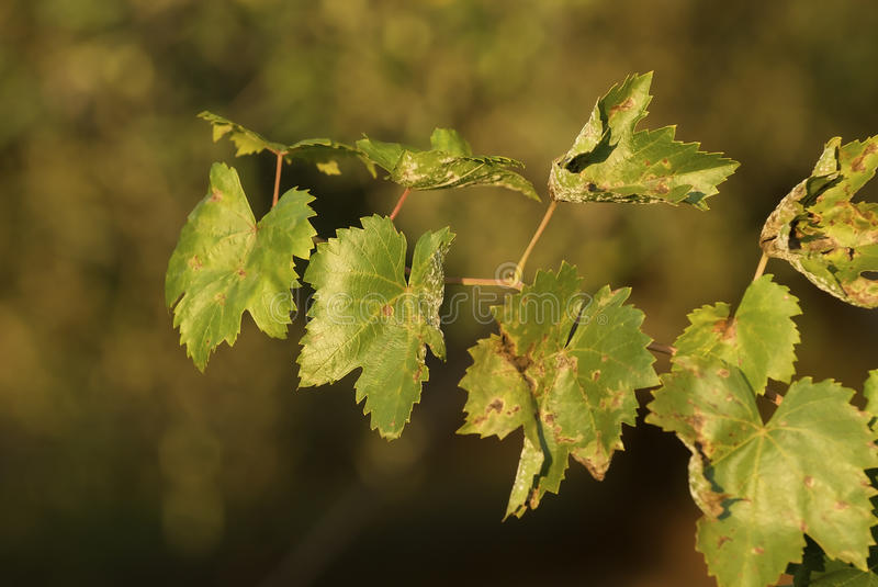 Download Vine leaves stock photo. Image of vine, backgrounds, bright - 11183376