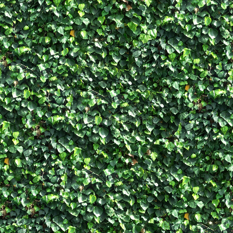 Vine and Leaves on a Wall Seamless Tile. Green ivy/kudzu vine and leaves covering a wall, seamless photographic background tile stock photo