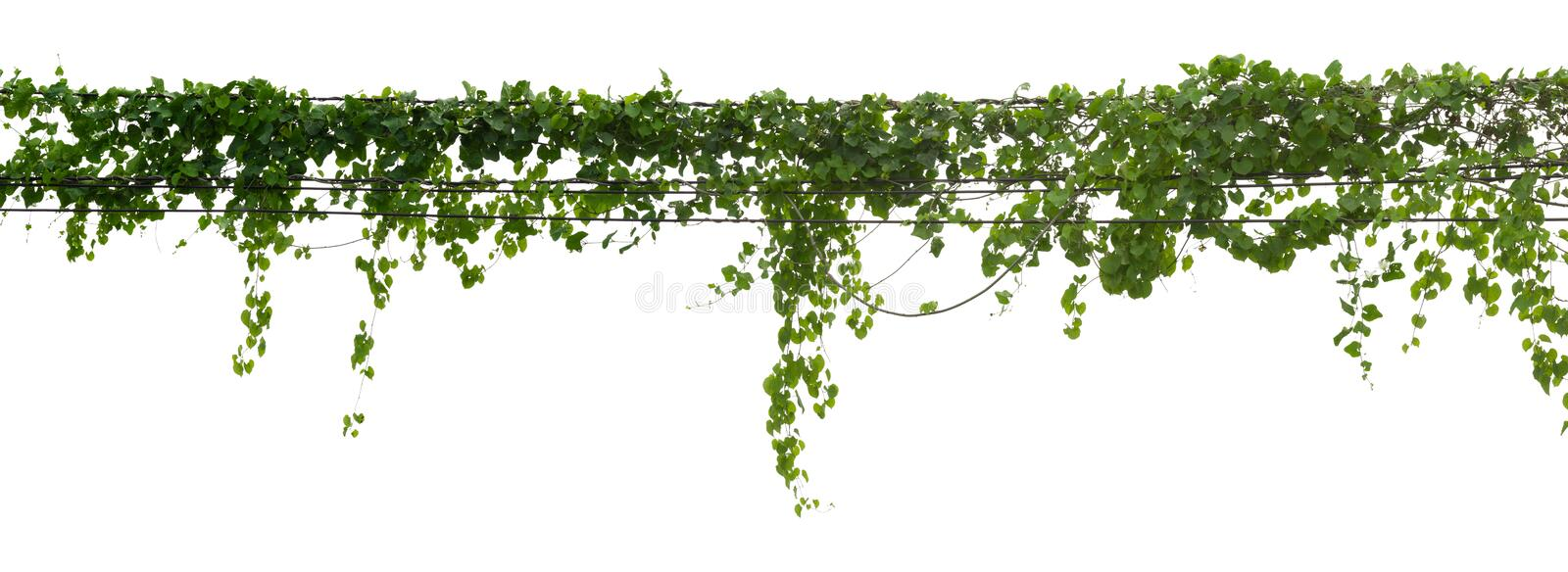 Vine plant climbing isolated on white background with clipping path included stock image