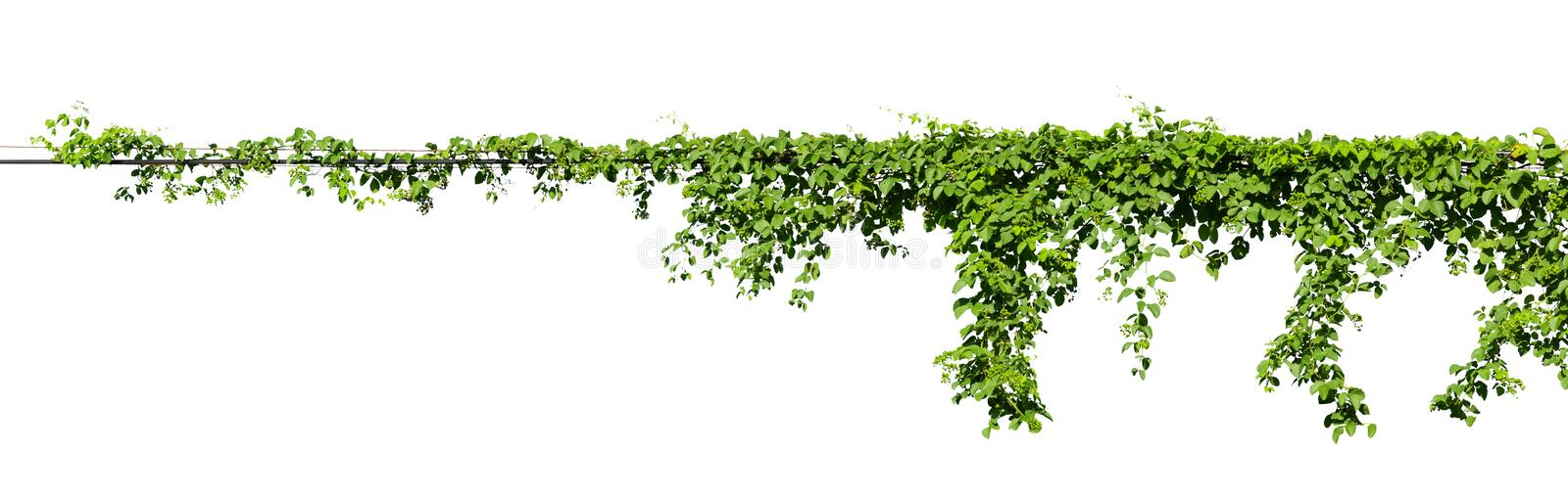 Vine plant climbing isolated on white background with clipping path included stock photography