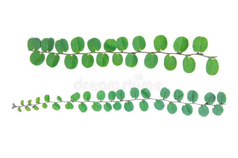Vine plant climbing isolated on white background with clipping path stock images