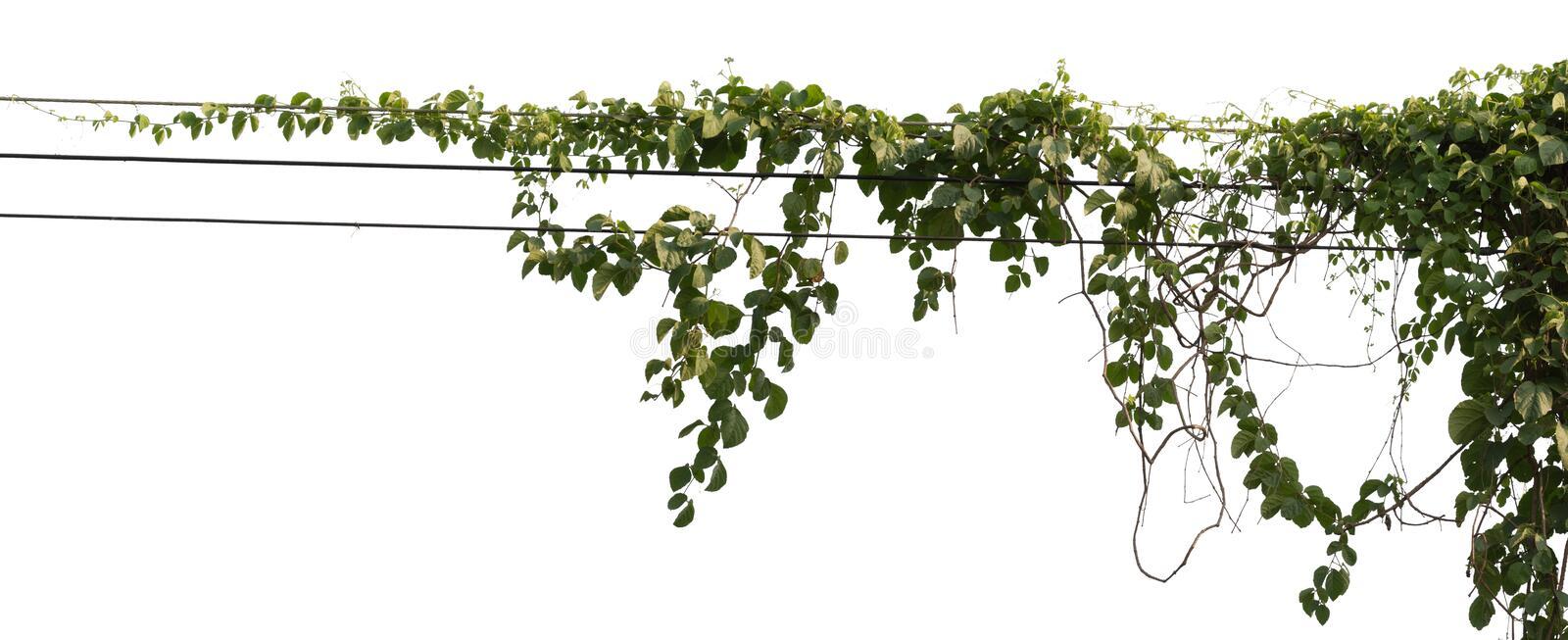 Vine plant isolated on white background. Clipping path stock images