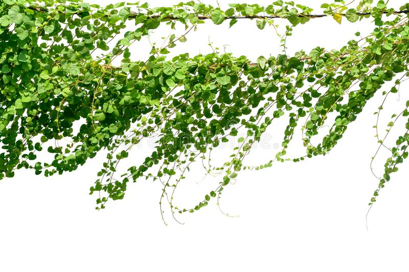 Vine plant, Ivy leaves plant on poles isolated on white background.  stock photos