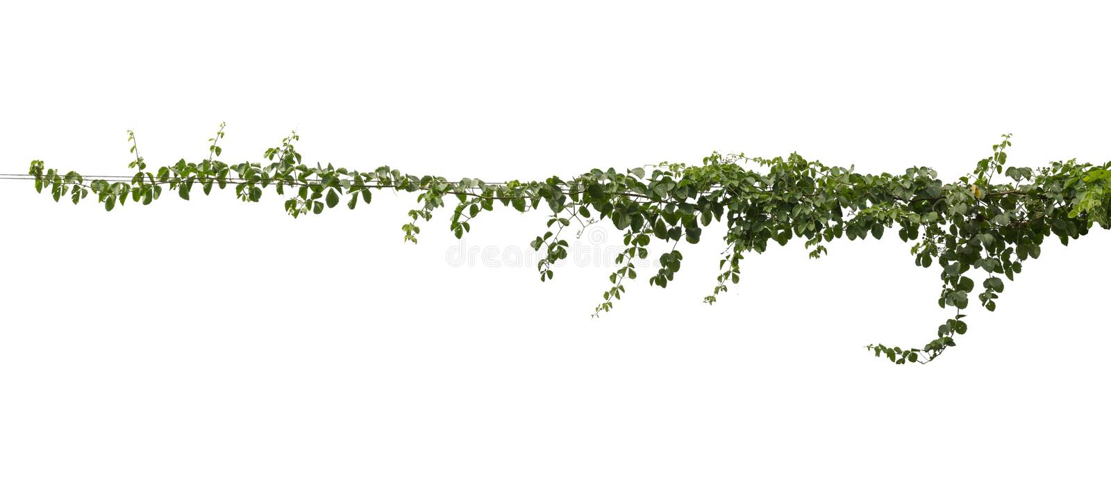 Vine plant jungle, climbing isolated on white background. Clipping path stock image
