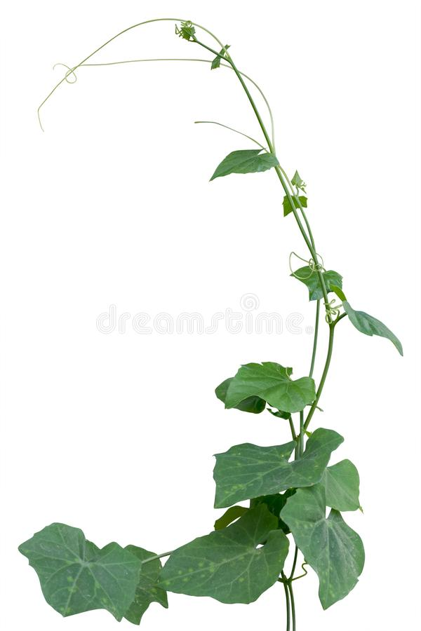 Vine plant, Nature Ivy leaves plant isolated on white background. Clipping path included stock images