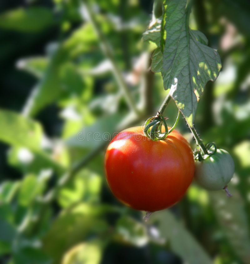 Vine Ripe Tomato Growing stock images
