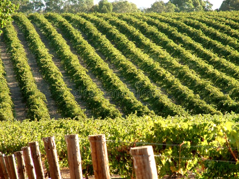 Vine Rows. Rows of Vines in the Barossa Valley