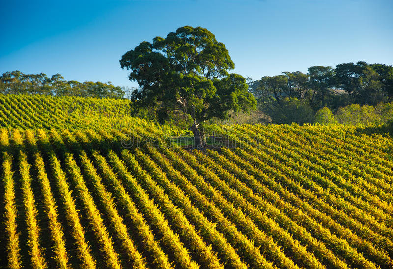 Download Vine Rows stock image. Image of field, wine, grapes, rural - 30460709