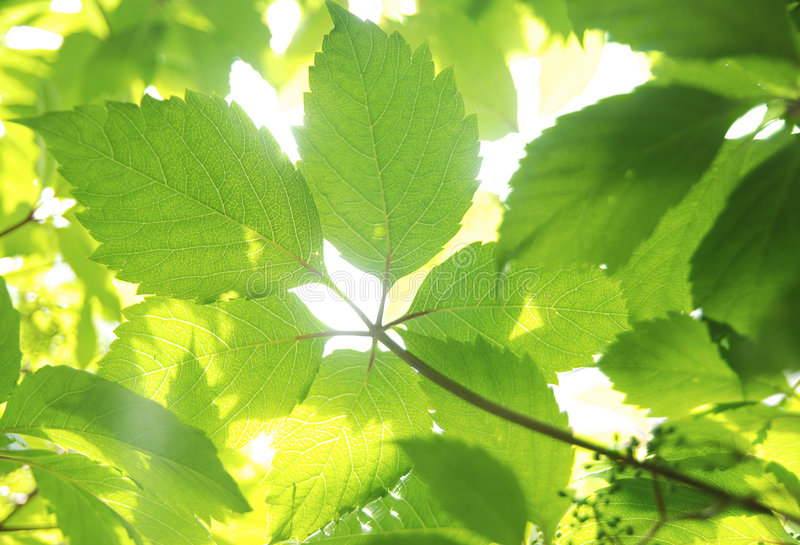 Vine's leaves royalty free stock photos