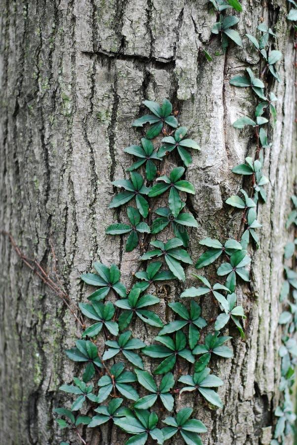 Vine som klättrar en tree royaltyfria foton