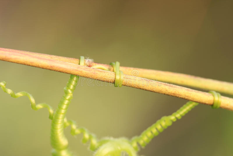 Download Vine Tendril stock image. Image of grape, forest, garden - 11190293