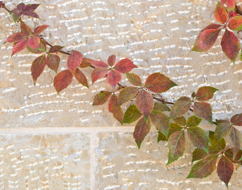 Vine On Wall Royalty Free Stock Photography