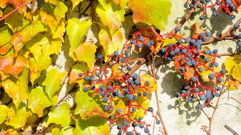 Download Vine on the wall no.4 stock photo. Image of grape, blue - 12772240