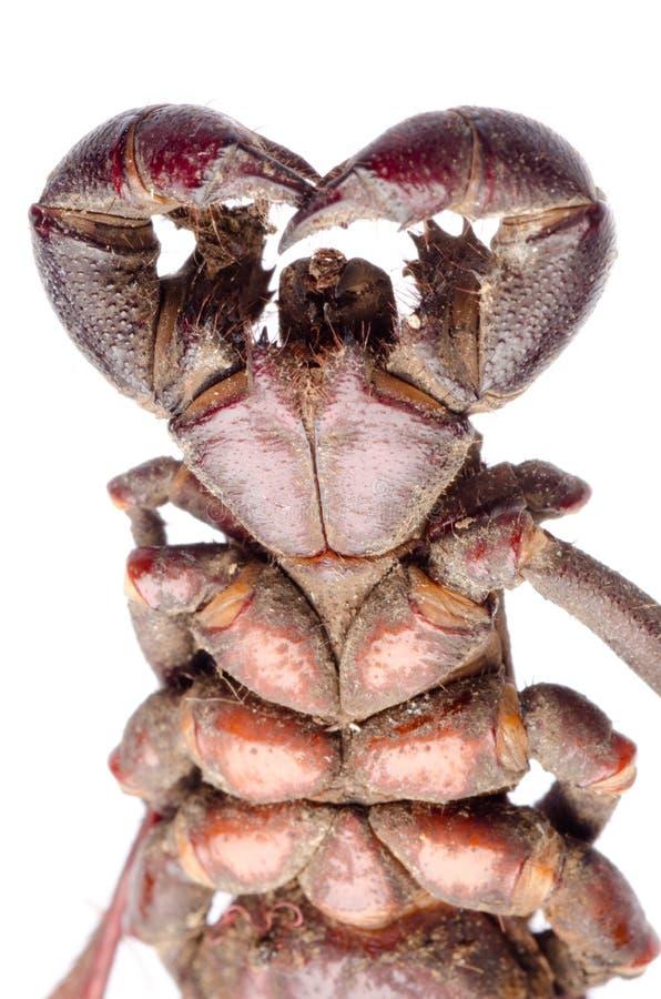Vinegaroon scorpion fotografering för bildbyråer