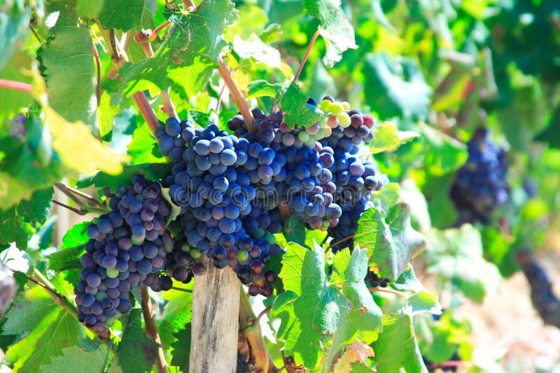 vineleaves winogron. zdjęcie royalty free