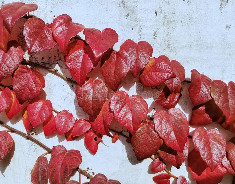 Vines with beautiful red leaves against wall. Closeup of vines with beautiful red leaves against white wall royalty free stock photo