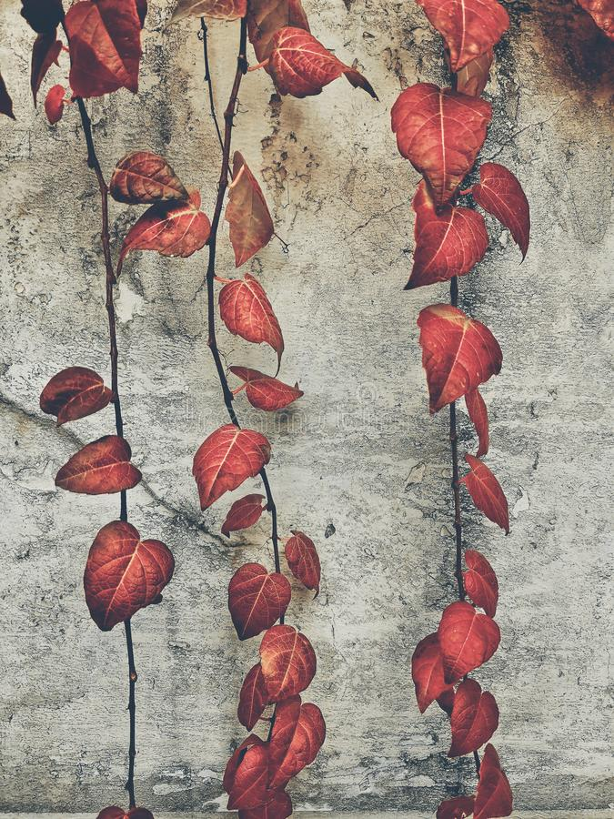 Vines with beautiful red leaves in early winter. Vines with beautiful red leaves against white wall background royalty free stock photos