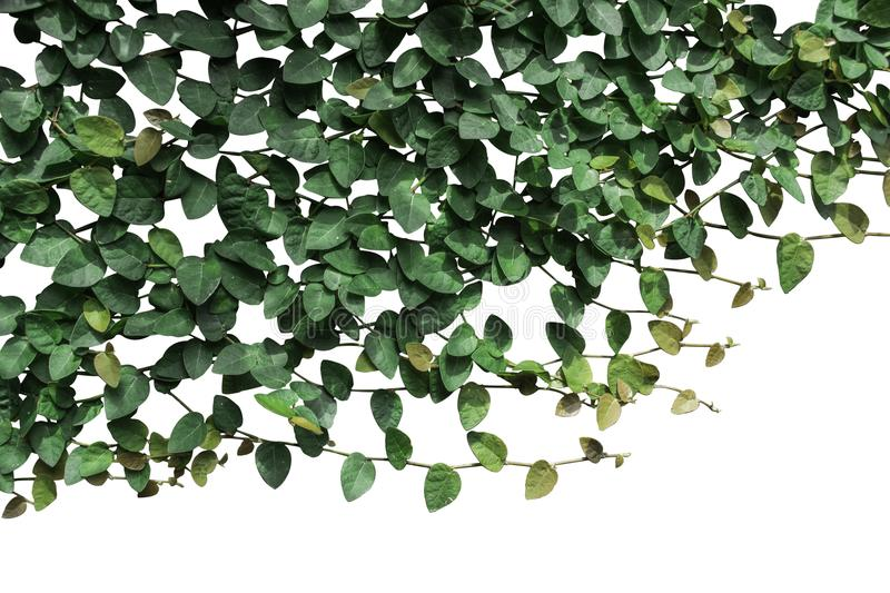 Vines and green leaves on a white background. royalty free stock photo