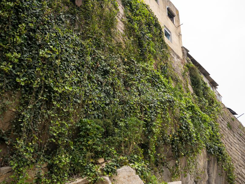 Vines grow up rock face and ancient stone wall in Porto, Portugal. On the banks of river Douro stock images