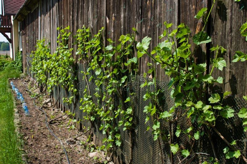 Vines grown on barn wall stock photos